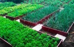 высокие грядки - 1389801 240x152 - Высокие грядки: оптимальное решение для Вашего огорода