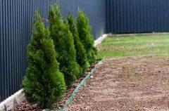паркан - 15 2 240x158 - Огородження й рослини: що посадити вздовж паркану?
